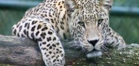 India shock, bimba decapitata da un leopardo