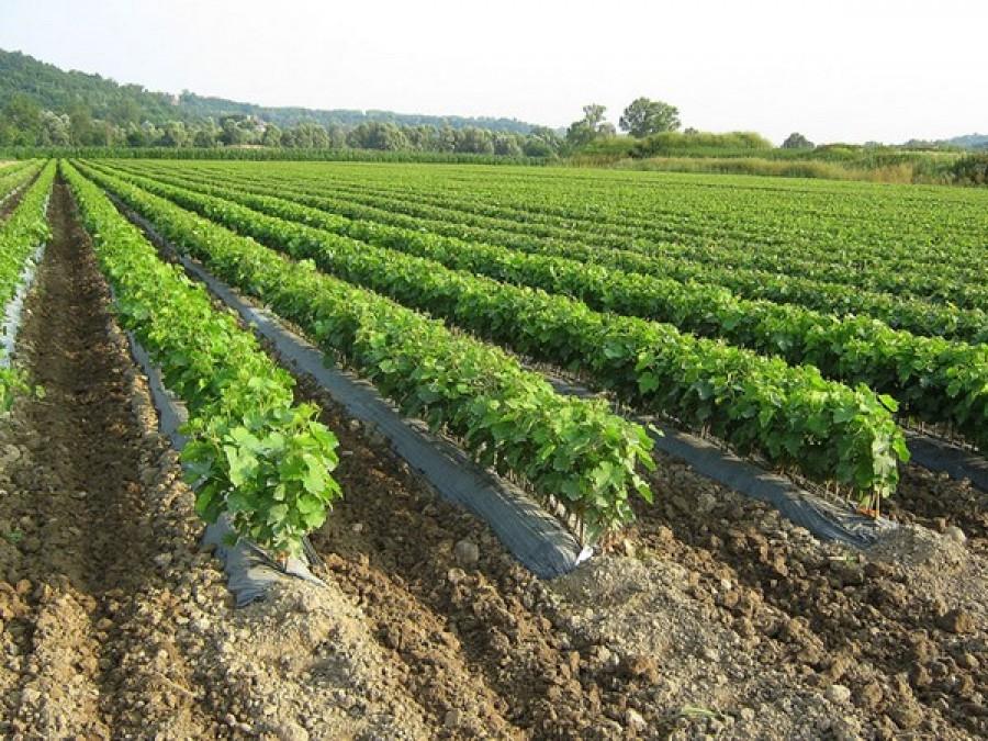Agricoltura stef no misto disposizioni reimpianto for Barbatelle di vite