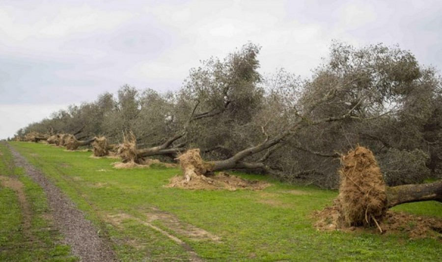 Nel Salento si potrà tornare a piantare olivi