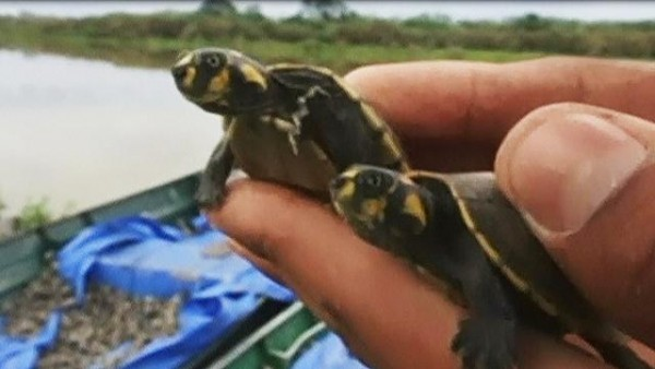 70 thousand baby turtles released into Bolivian rivers